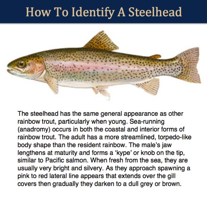 steelhead identifier